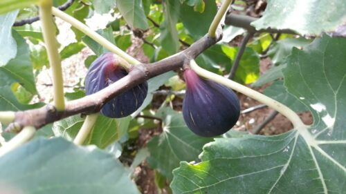 2 MALTESE BEAUTY Fig Tree cuttings from Malta VERY RARE!
