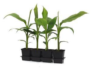 Musa-basjoo-30-cm-winterharte-Japanische-Faserbanane-Banane-Bananenpflanze