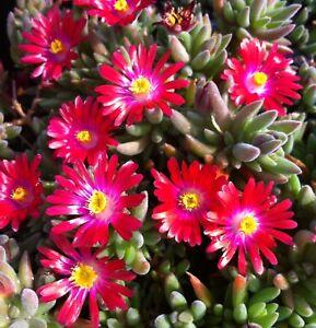 30-DELOSPERMA-CARMINE-RED-ICE-PLANT-GROUND-COVER-PERENNIAL-FLOWER-SEEDS