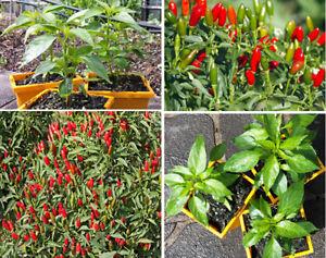 Hot-Thai-Chilli-Plant-An-Extreme-High-Yield-Hot-Thai-Chilli-Variety-14-99