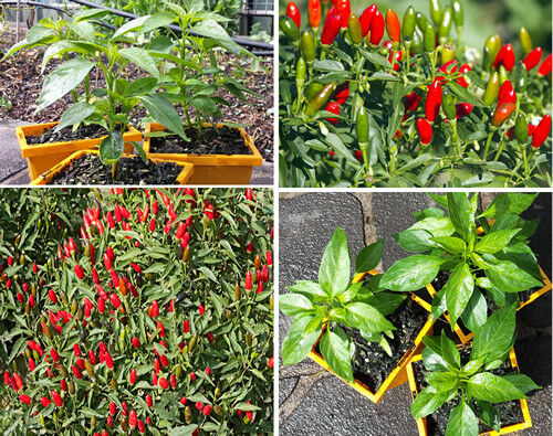 Hot Thai Chilli Plant An Extreme High Yield Hot Thai Chilli Variety