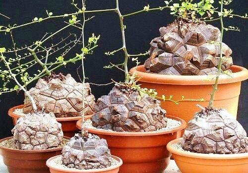Dioscorea Elephantipes Rare Testudinaria Elephant Foot Yam Caudiciform 5 Seeds For Online Ebay