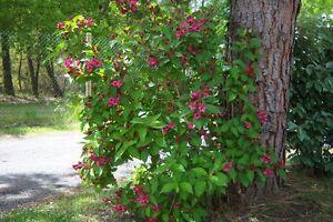 plantes weigelia bristol ruby pot 3 litres 40 60 cm ebay. Black Bedroom Furniture Sets. Home Design Ideas