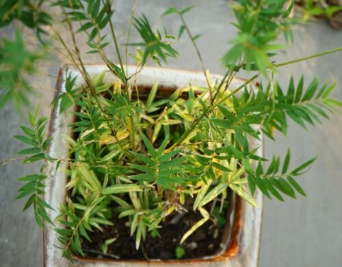 Bambusa multiplex ROOT DIVISION Small Bamboo Hedge or Bonsai /'Tiny Fernleaf/'