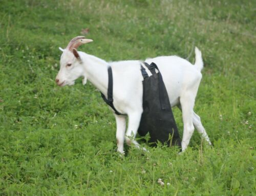 Anti Mating Anti Breeding OLOR™ Buck Apron for Goats//Sheep X-SMALL