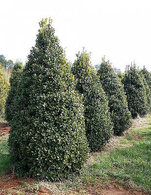 Qty 30 Oakleaf Holly Ilex x Conaf Live Evergreen Privacy Trees