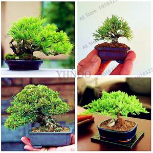 100 Pcs Seeds Miniature Pine Plants Bonsai Tree Garden Japanese Ornamental 2021 Ebay