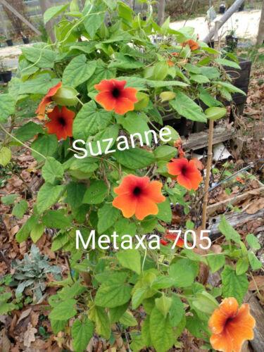 Suzanne Thunbergia alata 10 graines