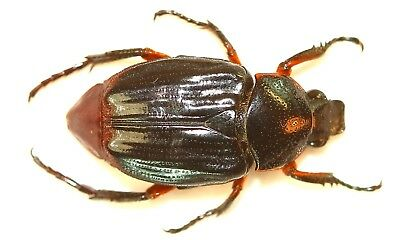 POLYPLASTUS BICOLOR from CAMEROON CETONIINAE COLEOPTERA