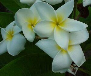 5-Fresh-Seeds-Frangipani-Plumeria-Rubra-034-Dosy-034-White