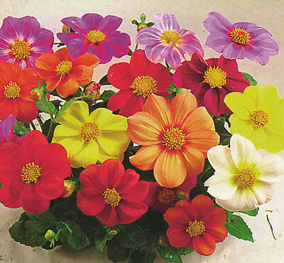 Dahlia Coltness mixed appx 150 seeds - Annual