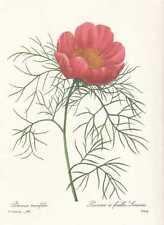 Pfingstrose - Paeonia tenuifolia FAKSIMILE Redoute 1833