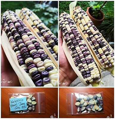 Details about  /Katerinis Pearl Jam Corn ~75 Top Quality Seeds EXTRA RARE NON-GMO Unique