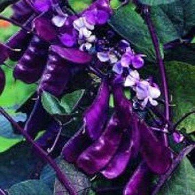 Hyacinth Bean Redleaved 20 Seeds  Garden Seeds 2u