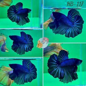 (HB-117) Dark Blue Dragon Scale Halfmoon-Live Halfmoon Betta Fish High Quality