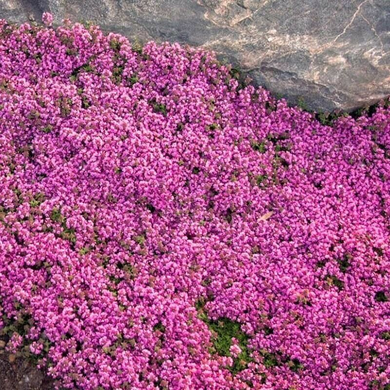 Thyme - Creeping:) 1200+ Seeds Herb Cooking. Instructions Inc. Combined Postage