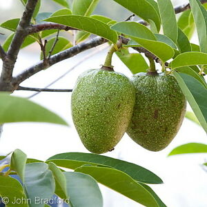 Annona-glabra-Teichapfel-Pond-Apple-10-Samen