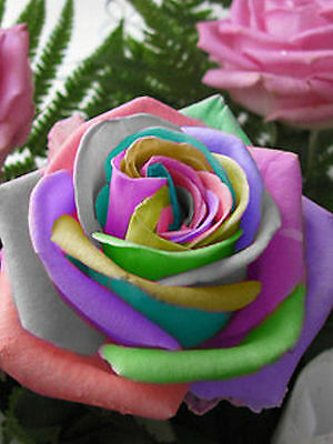 35 SEMILLAS ROSA RAINBOW CREAM ROSE SEEDS + TRIBUTO