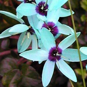 Amazing-TURQUOISE-Ixia-viridiflora-Rare-endangered-Bulbs