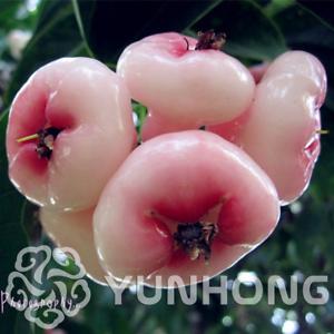 50-Pieces-Graines-Bonsai-Cire-Apple-Fruit-Bonsai-jambu-Air-fruits-Super-Doux-Neuf-2019