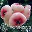 50-Pieces-Graines-Bonsai-Cire-Apple-Fruit-Bonsai-jambu-Air-fruits-Super-Doux-Neuf-2019 miniature 1