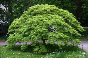 érable Du Japon Em Erald Dentelle Acer Palmatum Pot Cultivé Env