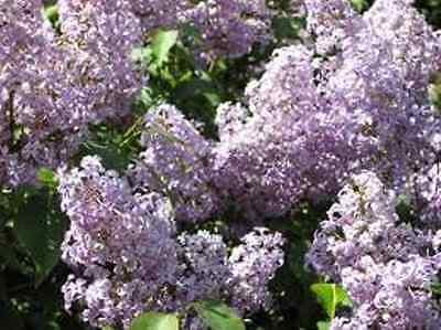 """10 Plants!! 12-24"""":  Old fashion purple lilac shrub bush hardy perennial"""