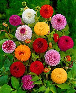100pcs Dahlia Flowers Seeds Rare Great Choice Colors Beautiful