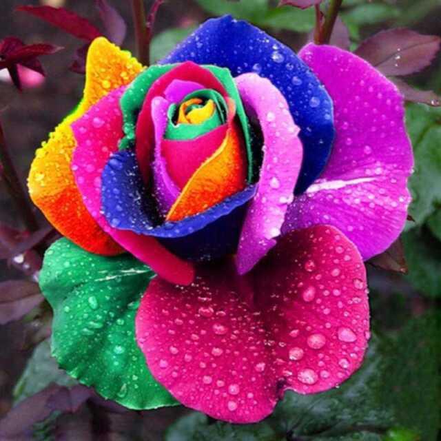 200Pcs Colorful Rainbow Rose Flower Seeds Home Garden H Multi-Color Plants X7T2