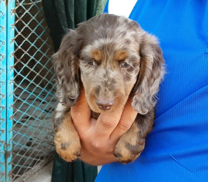 BOY - R5500 - LONG HAIR miniature CHOCOLATE DAPPLE DACHSHUND / WORSHOND