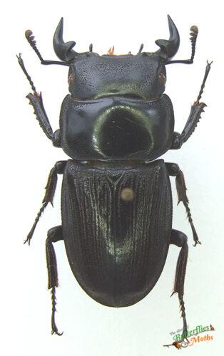 Black Stag REAL Beetle Dorcus Species SET x1 A1 Entomology specimen Artwork