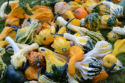 FLOWER GOURD WARTY MIXED 40 FINEST SEEDS