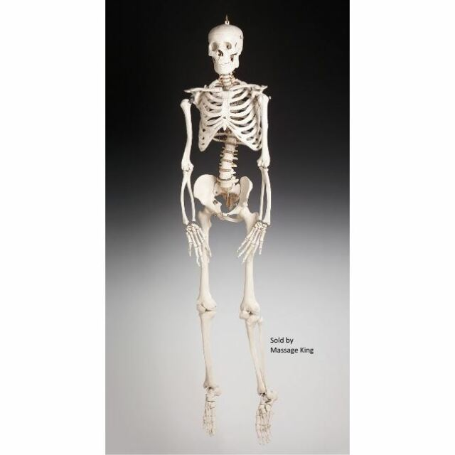 Life Size Bucky Skeleton Anatomy Skull Bones Prop Building Halloween
