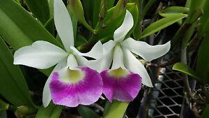 Orchid Cattleya BLC Hawaii Stars Paradise Exotic Tropical