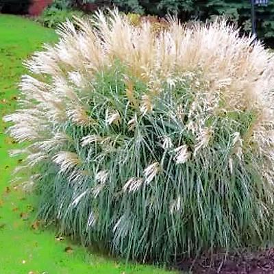 Bogo 50/%Off Ausverkauf - 25 Samen Miscanthus Sinensis Chinesisch Silber Gras