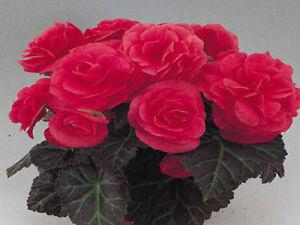 Begonia-Seeds-15-Nonstop-Mocca-Pink-Pelleted-Seeds