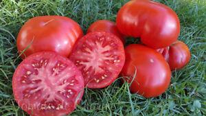 10-graines-de-tomate-MUCHAMIEL-tres-productive-resiste-aux-maladies-meth-bio