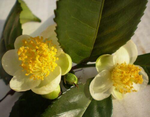 TEA PLANT SEEDS SAMEN SEMILLAS SEMI Camellia Sinensis 50 graines de THEIER