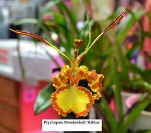 Y089-Psychopsis-Mendenhall-039-Hildos-039-FCC-AOS-2-3-4-039-039-Pot-S66