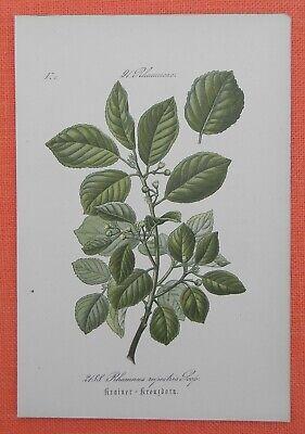 Freundschaftlich Krainer - Kreuzdorn Rhamnus Supestris Lithographie 1885