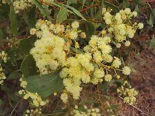 ACACIA PLATYCARPA or GHOST WATTLE 20 seeds