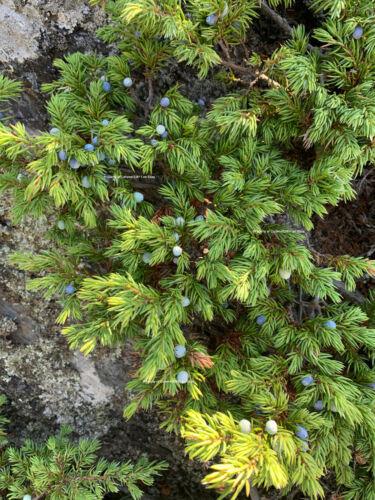 Creeping juniper – 100  fresh seed Juniperus horizontalis