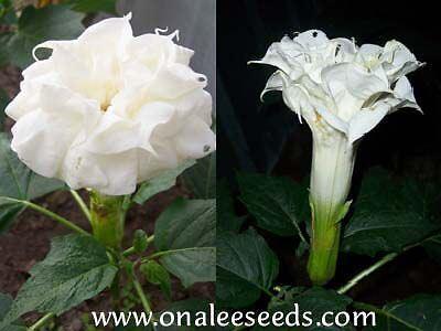 LARGE Triple Yellow Devil/'s Trumpet 24 Datura Seeds Fragrant Unusual