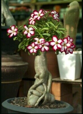 Desert Rose,one year bare Rooted baby plant Caudex Bonsai,USA free ship