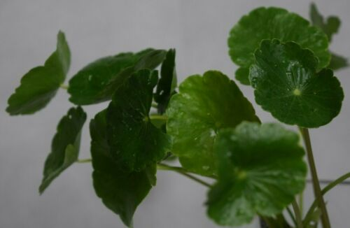Water Gotu-Kola Hydrocotyle vulgaris Creeping Pond Floating Herb Living Plant x3