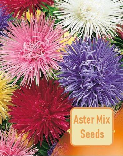 Aster acerose Mix Graines Red Aster organiques non OGM Ukraine 0.3 g décoration de jardin