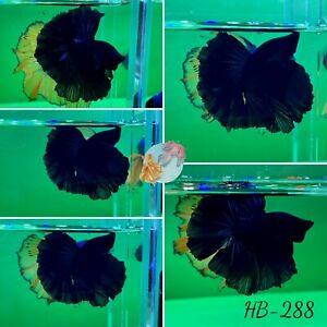 (HB-288) Supper Black Monster Halfmoon-Live Halfmoon Betta Fish High Quality
