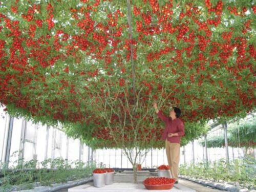 PERENNIAL 15 SEEDS GIANT TREE TOMATO