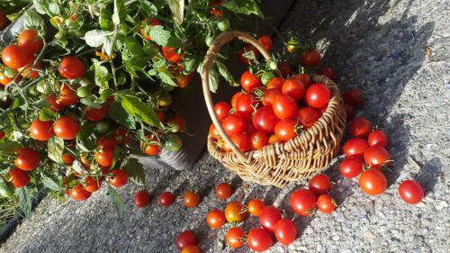 10 graines de tomate rare Tumbling Tom cherry heirloom tomato seeds méth.bio