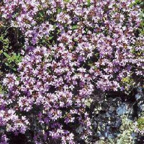 Creeping Thyme Wild 500 Seeds BOGO 50/% off SALE